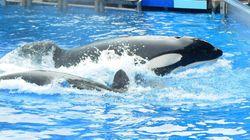 Face aux critiques, SeaWorld va agrandir les bassins de ses