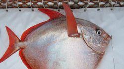 Ce poisson a littéralement le sang chaud, et ça a son