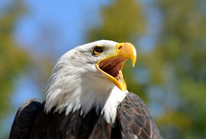Bald eagles are no longer listed under the Endangered Species Act, but they still have federal protection under other legisla
