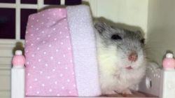 Voyez un hamster se faire border dans son