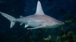 La population de requins blancs augmente dans