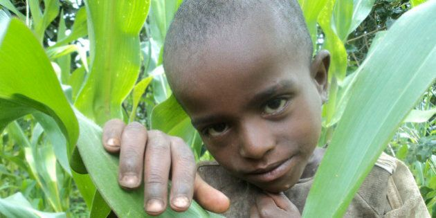In this photo made Saturday, Aug. 6, 2011, showing a boy in his father's cornfield who subsists on a...