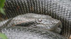 Avalé vivant par un anaconda: expérience ratée et coup de publicité