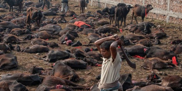 BARIYARPUR, NEPAL - NOVEMBER 28: (EDITORS NOTE: Image contains graphic content.) A devotee slaughters...