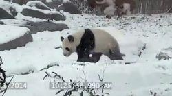 Il y a au moins ce panda qui aime la neige