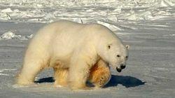L'ours polaire de l'Arctique ne va pas bien, selon une étude menée pendant 10