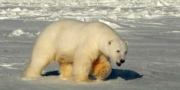 This handout photo provided by the US Geological Survey, taken in 2005, shows a male polar bear approaching biologists in Beaufort Sea, Alaska. A new U.S.-Canada study says a key polar bear population fell nearly in half in the past decade, with scientists seeing a dramatic increase in young cubs dying. Researchers chiefly blame shrinking sea ice from global warming. Scientists from the US Geological Survey and Environment Canada tagged and released polar bears in the southern Beaufort Sea from 2001 to 2010. The bear population shrank to about 900 in 2010, down from about 1600 in 2004. (AP Photo/Steven C. Amstrup, USGS)