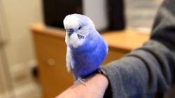 Bluey la perruche peut imiter R2-D2... et ça rend ses propriétaires fous