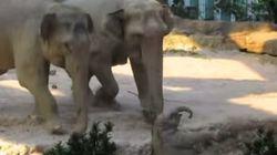 Sauvetage d'un jeune éléphanteau par deux de ses ainés