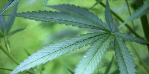 This photo taken on July 15, 2014 shows a cannabis plant growing in a garden in Cologne, Germany. A German...