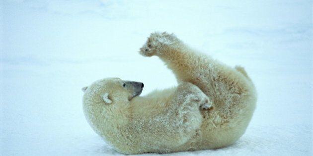 L'ADN des ours polaires extrait d'empreintes dans la neige de