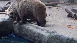 Un ours brun sauve un corbeau de la noyade