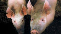 La France suspend l'importation de cochons