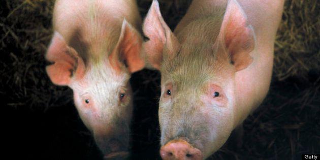 La France suspend l'importation de cochons canadiens et américains vivants et leurs