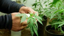 Les fournisseurs de marijuana médical devront faire des rapports sur les