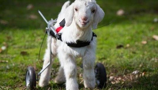 Frostie la chèvre peut marcher de nouveau grâce à sa chaise roulante