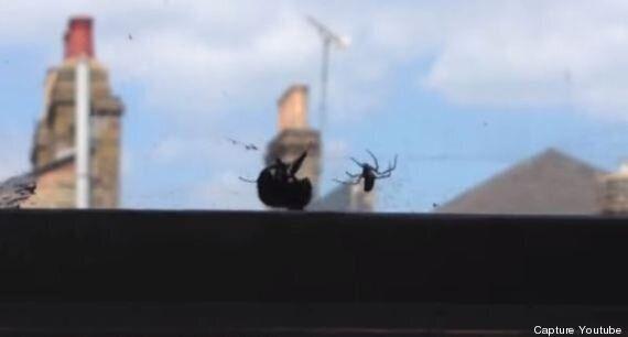 Ce «super bourdon» sauve un congénère d'une araignée
