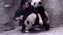 Ces bébés pandas préfèrent jouer que prendre leur médicament