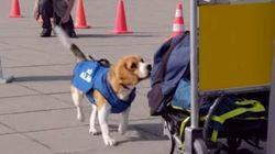 Un chien à l'emploi de KLM pour retourner les objets perdus?