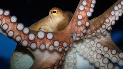 Pourquoi les poulpes ne s'emmêlent-ils pas les tentacules