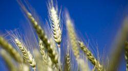 Les surfaces OGM mondiales ne cessent