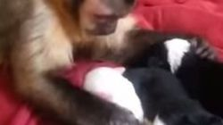 Ce singe semble très bien s'entendre avec ces chiots