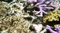 La majorité des coraux des Caraïbes pourraient disparaître en 20 ans, selon l'ONU et