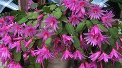 Cactus de Noël, Amaryllis, poinssetia, St Paulia, qu'en faire après les