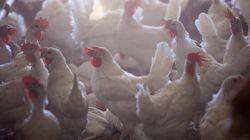 Grippe aviaire de type H5N2, deux autres fermes en