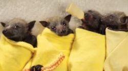 Oui, les bébés chauve-souris peuvent être mignons
