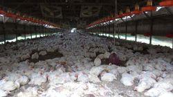 Nouveaux cas de grippe aviaire, deux fermes en