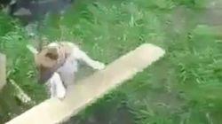 Ce chien sait jouer à rapporter la balle tout seul
