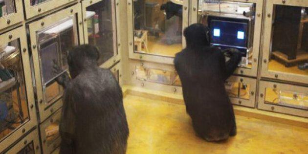 Les chimpanzés sont bien meilleurs que les hommes pour former des stratégies de