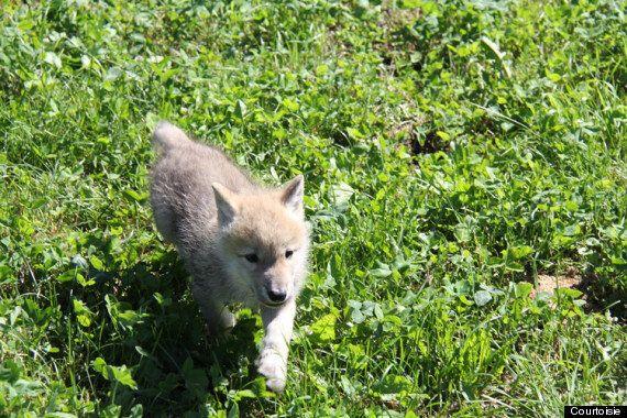 Parc Safari: de mignons petits louveteaux qui se comportent comme des chiots