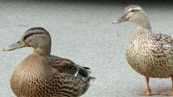 La conductrice qui s'est arrêtée devant des canards est reconnue coupable
