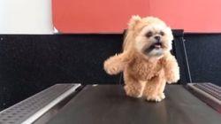 Ce chien déguisé en ourson fait du tapis roulant