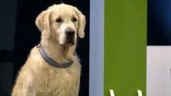 Un chien perd tous ses repères lors d'une compétition d'obéissance