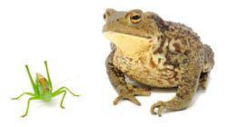 Mine Arnaud: la grenouille et la