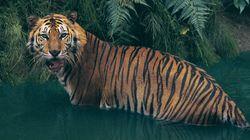Fauve qui peut ! Un autre «tigre de Poutine» passe la frontière