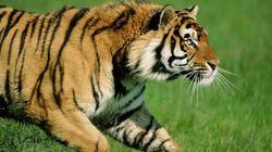 Disneyland Paris: un tigre s'est