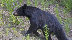 Un ours noir fait une victime près de Fort