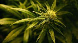Une opération de police vise des lieux de production de cannabis au