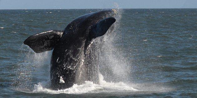 750 baleines sauvées des harpons du Japon en 2013, d'après l'organisation Sea
