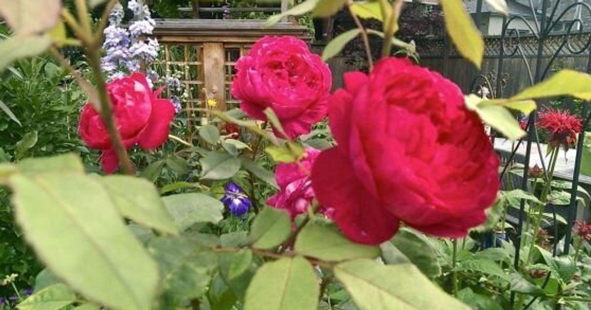 128b64a3dfc81e Des rosiers adaptés à nos hivers québécois | HuffPost Québec