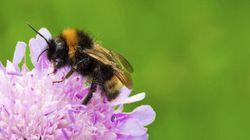 Les pesticides «tueurs d'abeilles» déciment les