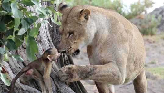 Incroyable interaction entre cette lionne et ce bébé babouin