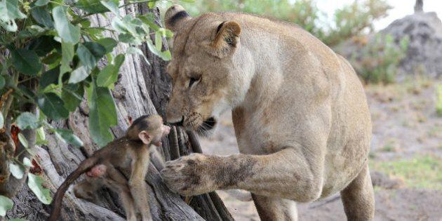Incroyable interaction entre une lionne et un bébé babouin au Botswana
