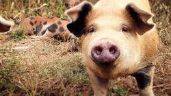 Les cochons heureux font-ils de la viande heureuse? - Bob