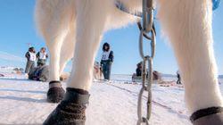 Course Ivakkak au Nunavik : pour l'amour des chiens et des traditions inuit
