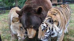 Comment un lion, un tigre et un ours sont devenus les meilleurs amis du monde